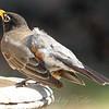 Bizarre American Robin With Aberrant Leucistic feathers View 3