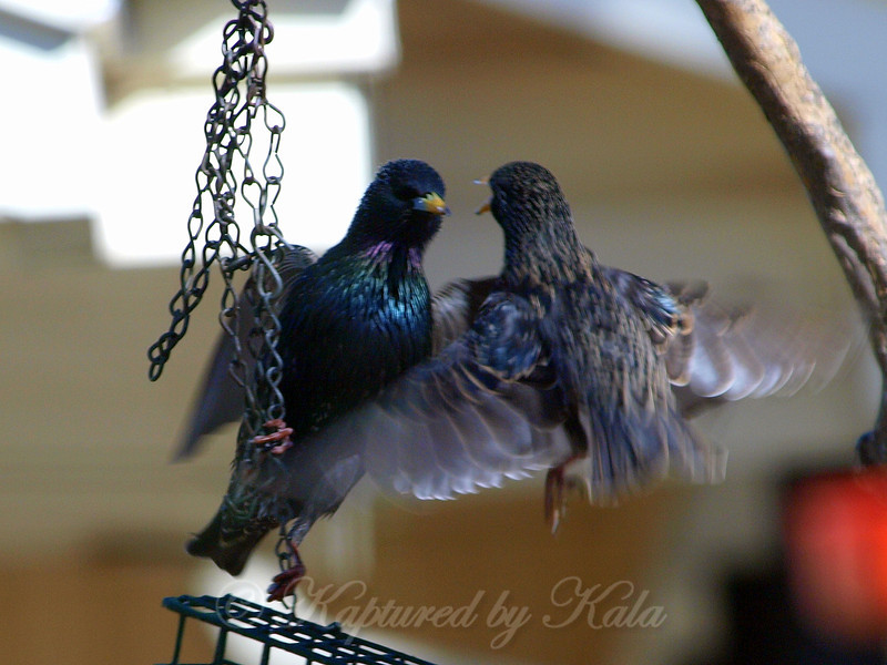 Two Starlings Fighting Over the Suet Basket