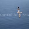 Fulmarus glacialis - Northern fulmar 2