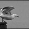 Western Gull ~ Larus occidentalis