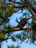 Bald Eagle Looking Straight on_7344_1-21-20©DonnaLovelyPhotos com sm file