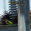 Quaker Parrot/Monk Parakeet  View 7 of 7