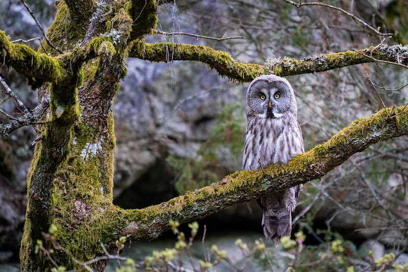 Great grey owl in the forest northeast of Södertälje. A powerful and respectful encounter that I feel privileged to have experienced.