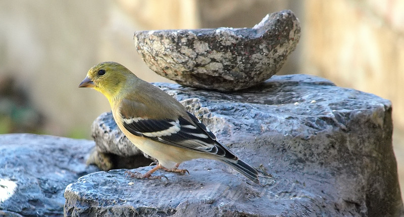 Goldfinch And A Geode