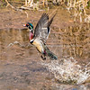 Wood duck taking flight from pond