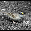 Golden-crowned Sparrow (male) ~ Zonotrichia atricapilla