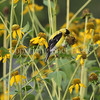 Spinus tristis – American goldfinch on Rudbeckia laciniata 3
