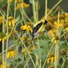 Spinus tristis – American goldfinch on Rudbeckia laciniata 3