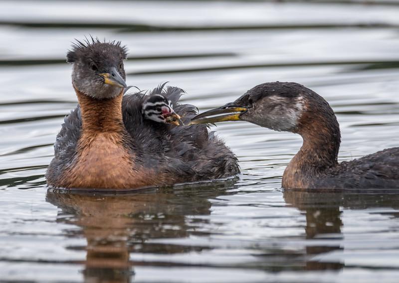 IMAGE: https://photos.smugmug.com/Birds/i-2QR7qdj/0/L/20160715_08-54-16-2-L.jpg