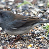 One Last Junco Photo