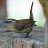 Carolina Wren Outside My Window