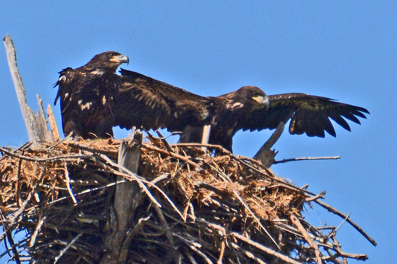 Two Eaglets prepare to leave their nest.