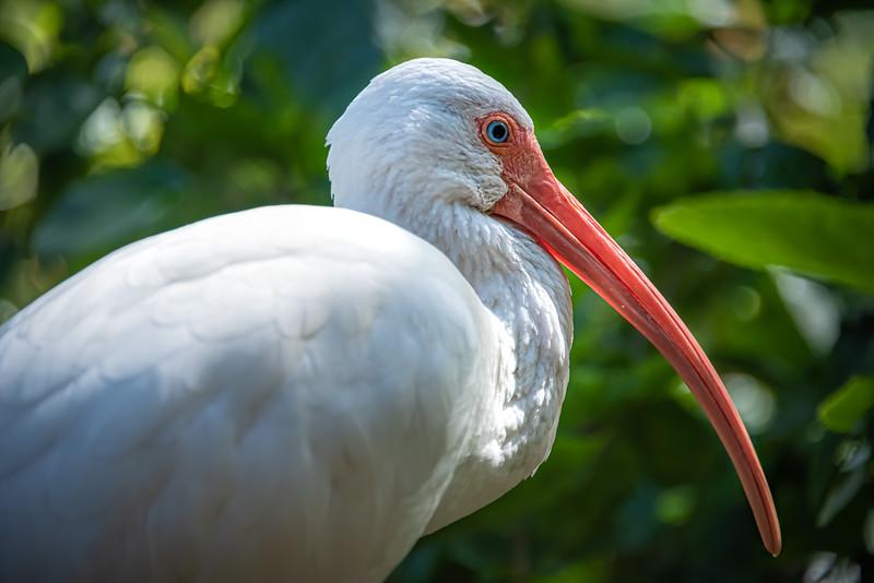 American White Ibis.
