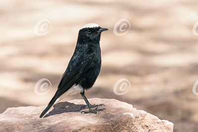 White-Crowned Wheatear Perched on a Pinkish Limestone Boulder
