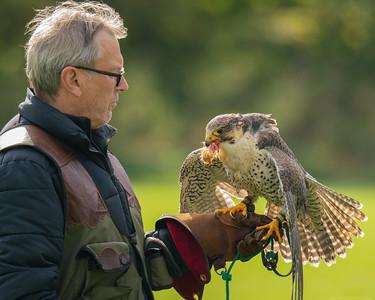 Falconer with Gyrsaker Falcon cross with Peregrine Falcon  -  Northcroft Newbury
