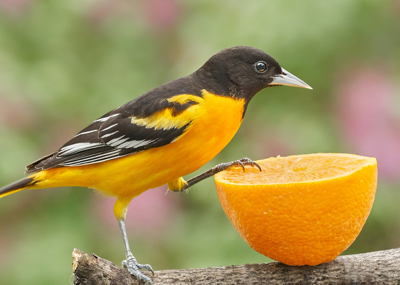 Male Baltimore Oriole investigating an orange