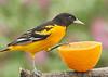 Male Baltimore Oriole investigating an orange
