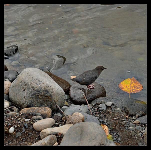 American Dipper (a.k.a. water ouzel) ~ Cinclus mexicanus