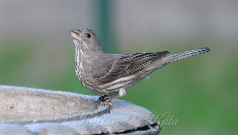 Female House Finch Getting a Drink