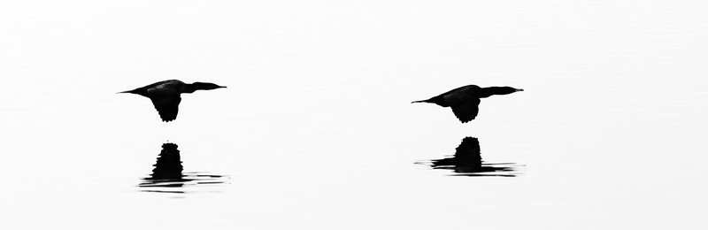 Double-Crested Cormorants, silhouetted in fog bank, Apalachee Bay, St Marks NWR, FL