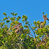 Group of Brown Pelicans sit on top of some mangroves on an island in Estero Bay.
