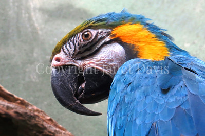 Ara ararauna – Blue and yellow macaw 1