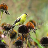 Spinus tristis – American goldfinch on Echinacea 3