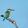 Sacred Kingfisher, The Spit, Gold Coast. Qld.