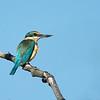 Sacred Kingfisher, The Spit, Gold Coast. Qld.
