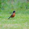 American Robin ( Turdus migratorius ).jpg