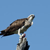 Eastern Osprey, Fish Hawk,The Spit , Gold Coast