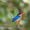 Buff-breasted Paradise Kingfisher 1