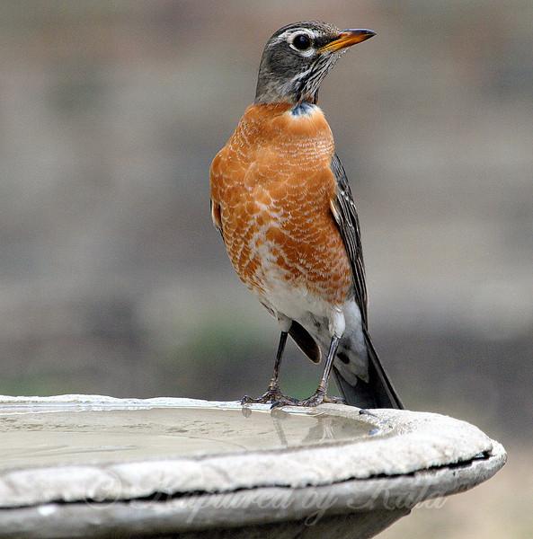 American Robin with an Unusual Look