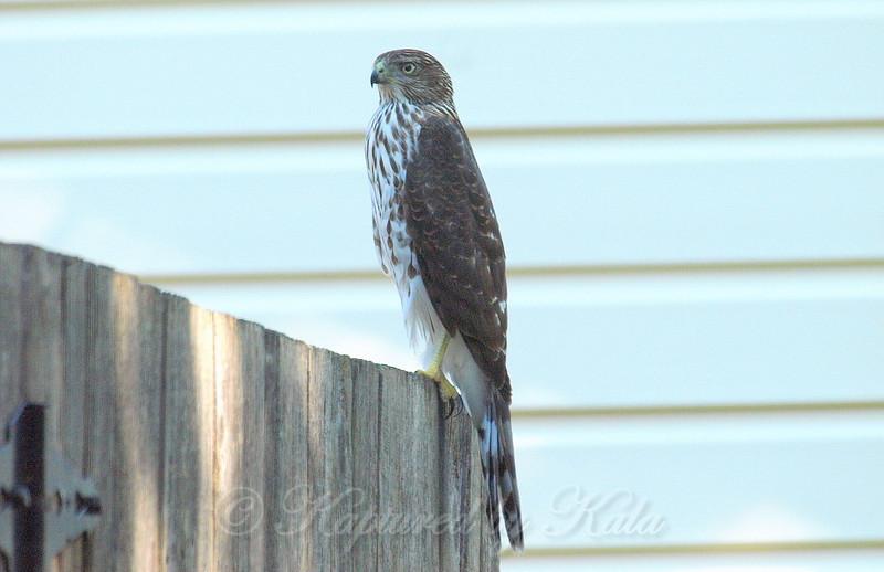 Big Beautiful Juvenile Cooper's Hawk