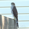 Big Beautiful Juvenile Cooper's Hawk