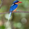 Buff-breasted Paradise Kingfisher 5