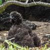 Fluffy baby Laysan Albatross