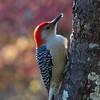 Flicker Woodpecker Bird Photo