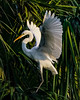Great Wh Heron Wings Spread_7507_1-21-20©DonnaLovelyPhotos com