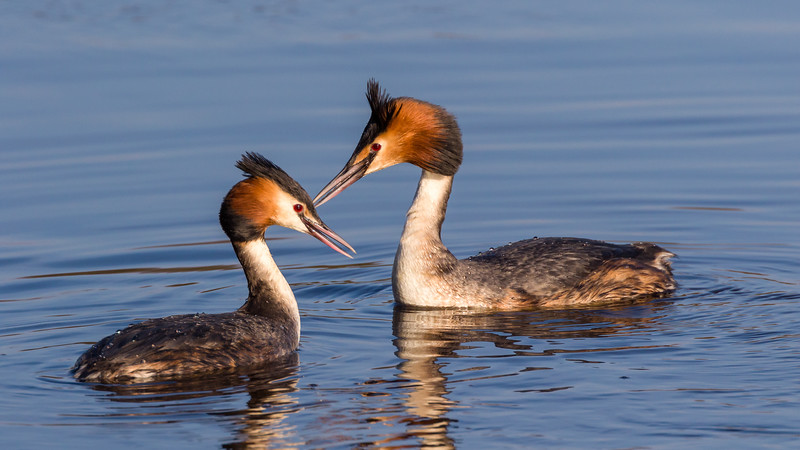 Great crested grebe / Podiceps cristatus / Fuut