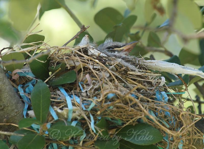 Baby Bird Mohawk