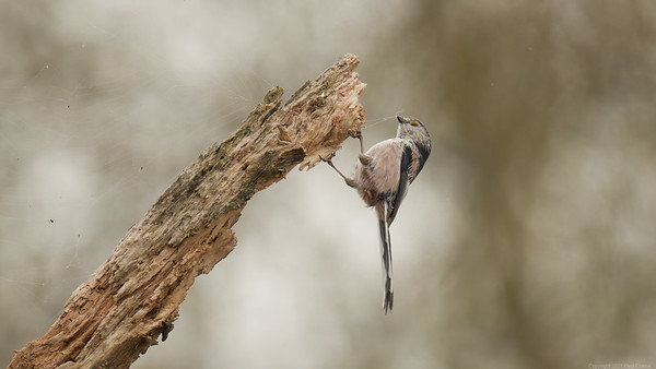 Long Tailed Tit on weathered branch