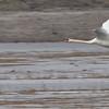 Knobbelzwaan; Mute Swan
