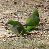Monk Parakeets Eating Acorns View 2