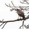 Pale Buzzard at Midgeham