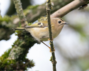 Goldcrest at Woolhampton 8 - 11th November2019