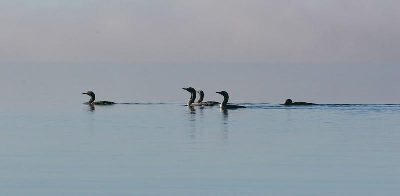 Black-throated loons on lake Jääsjärvi on a misty September morning