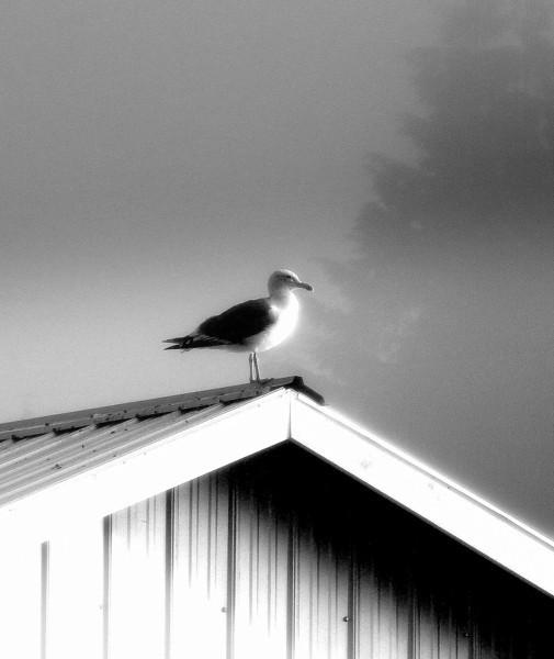 Seagull outwaiting the fog