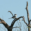 Loggerhead Shrike View 2