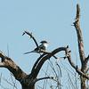 Loggerhead Shrike View 2